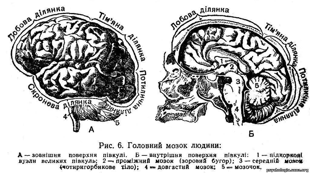 Вищим відділом центральної нервової системи є великі півкулі головного мозку