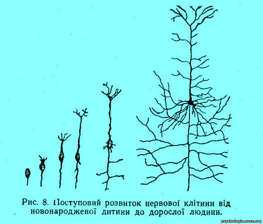 такій будові коркових клітин великі півкулі можуть здійснювати ті складні форми вищої нервової діяльності
