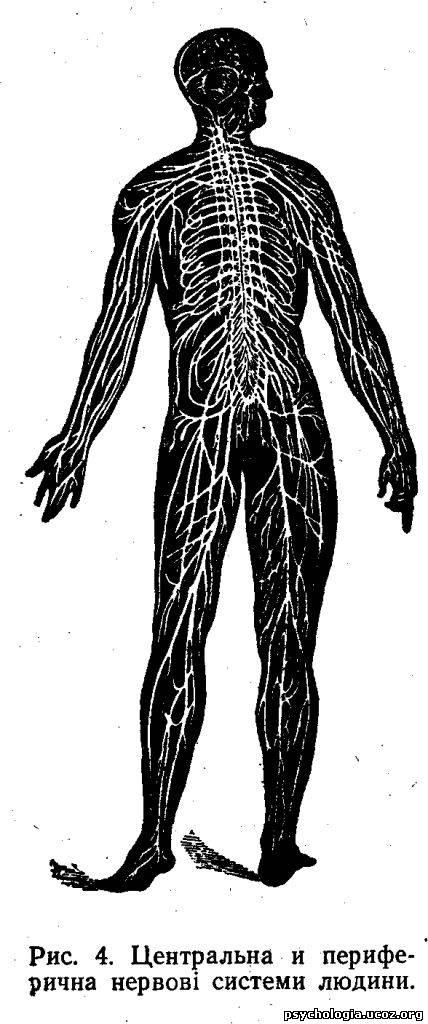 центральна й периферична нервові системи